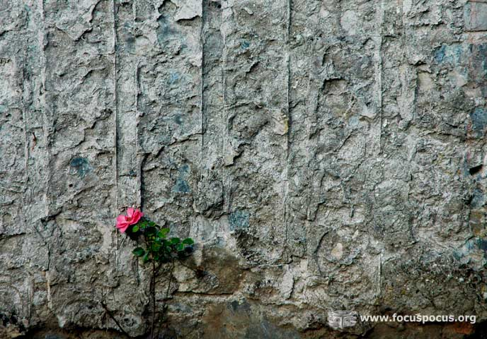 Rose Against Wall