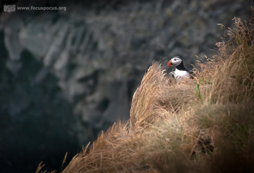 Puffin at Reynisfara Beach